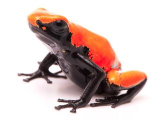 Adelphobates galactonotus,  orange red splash backed or splashback poison dart frog. A poisonous rain forest animal from the Amazon rainforest in Brazil. Isolated on a white background..