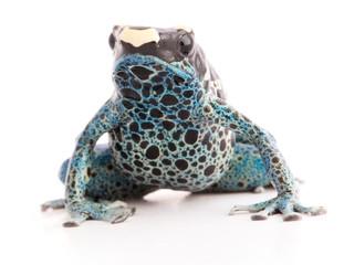 Dendrobates tinctorius Powder Blue Dyeing Poison Arrow Frog isolated on white background.