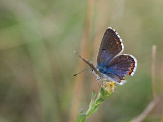 The Adonis blue butterfly ( Polyommatus bellargus )  female sitting on a blooming plant