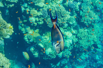 red sea coral reef with beautiful colorful fish under water