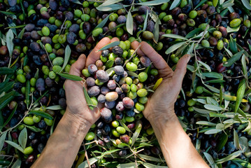 girl hands with olives, picking from plants during harvesting, green, black, beating to obtain extra virgin oil, food, antioxidants, Taggiasca variety, autumn, light, Riviera, Liguria, Italy