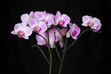 kwiat storczyk orchidea fioletowy na czarnym tle