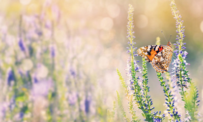 Natural background with butterfly on wildflowers. Beautiful butterfly sits on flowers on  summer meadow