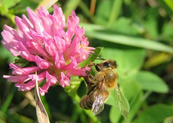 Bee on a clover flowers