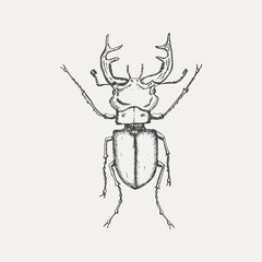 Stag beetle isolated on white background. Hand drawn sketch in vintage engraving style. Insect vector illustration.