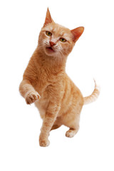 ginger cat standing with raised paw and released claws and looking at camera  isolated on white background