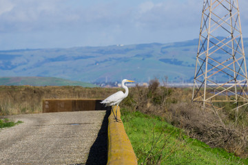 Great egret standing on a cement fence, San Francisco bay area trail, Sunnyvale, California