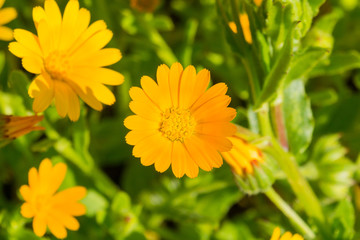 Macro of orange Calendula (Calendula arvensis) wildflower, California