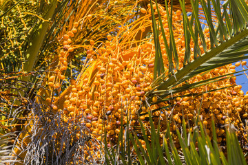 Close up of Date Palm Tree, California