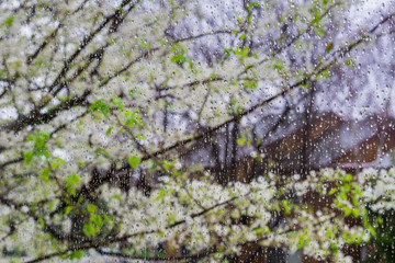 Raindrops on a window; blooming trees in the background, California