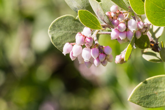 Manzanita tree pink flowers, California