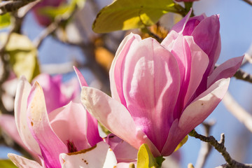 Macro of white and Pink Magnolia Blossoms