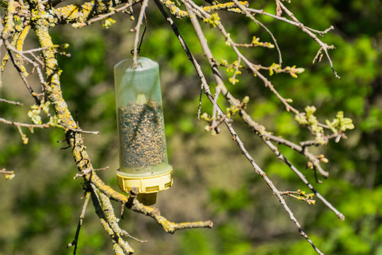 Wasp trap filled with dead wasps hanging in a tree in springtime, California
