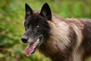 Black Phase Grey Wolf (Canis lupus) Open Mouth Facing Left Summer