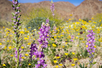 Lupine flowers; Field of wildflowers in the background, south Joshua Tree National Park, California