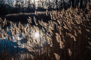 Gräser am See im Sonnenlicht