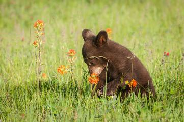 Black Bear Cub (Ursus americanus) Sniffs Prairie Fire Flower Summer