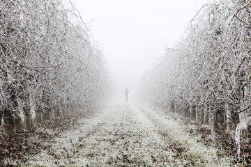 Man silhouette in a fruit trees field covered by ice during the winter on Lleida (Spain).Morning frost on fruit trees.