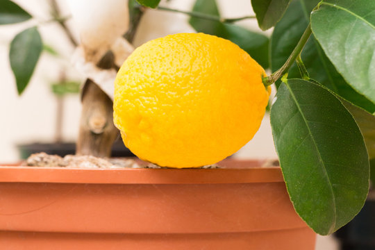 A branch of a citrus plant grown in a pot with ripe yellow lemon fruit and green leaves. Indoor citrus tree growing. Close-up with selective focus
