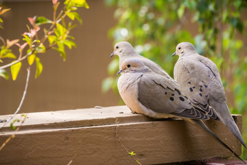Three Mourning Doves sitting on a balcony ledge, California Wall mural