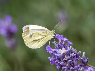 Green Veined Butterfly on Lavender