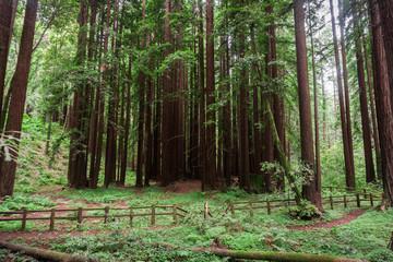Redwood trees (Sequoia sempervirens) forest, California