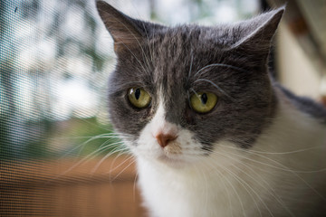 Close up of gray and white cat sitting on the window ledge; shallow depth of field