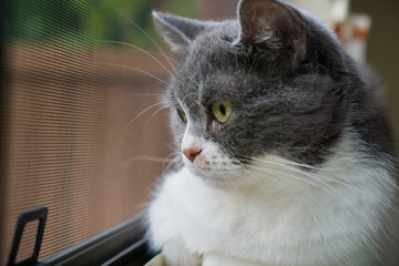 Close up of gray and white cat looking out the window; shallow depth of field