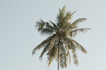 Isolated palm with coconuts and sky background (Ari Atoll, Maldives)