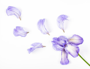 Purple iris flower and petals on white background. Flat lay. Top view.