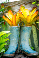 Up-cycle gardening concept, succulent plant growing inside rain boots
