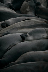 Elephant seals yawning