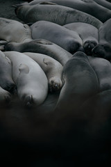 Elephant seals sleeping