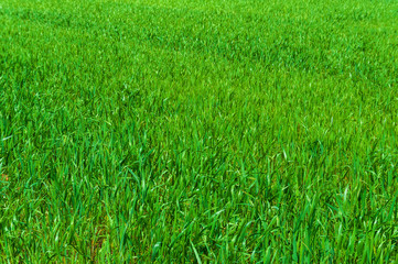 Green grass. Abstract