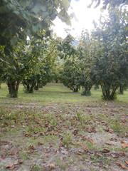 Field of hazelnuts in the Langhe, Piedmont - Italy