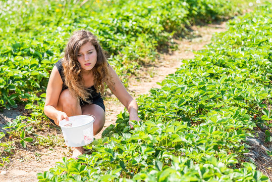 Young woman sitting picking strawberries in green field rows farm carrying basket of red berries fruit in spring or summer