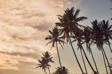 Palm trees on beach. Beach in Sri Lanka. Indian ocean. Sunset. Silhouettes of palm trees