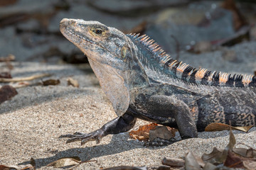 Black spiny-tailed iguana (Ctenosaura similis) portrait, Manuel Antonio National Park, Puntarenas, Costa Rica
