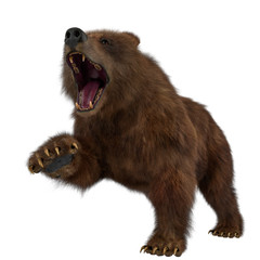 brown bear in a white background