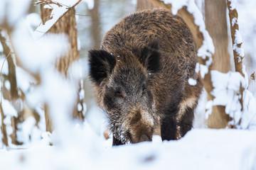 Big Boar Sus Scrofa in the winter snowy forest