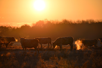 Wall Mural - Group of cows on morning pasture in soft warm backlight
