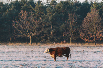 Wall Mural - Cow standing on the winter pasture