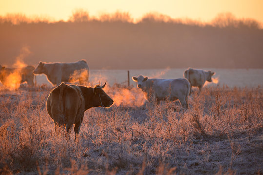 Group of cows on morning pasture in soft warm backlight