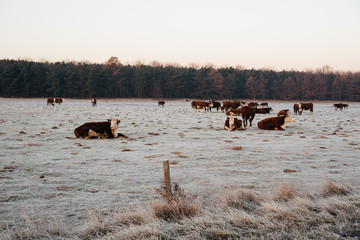 Wall Mural - Group of cows on the winter pasture