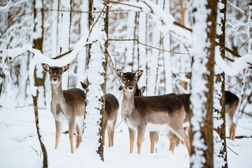 Group of female fallow deer in the winter forest