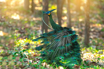 Papiers peints Paon Green peafowl Beautiful bird