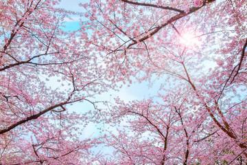 Foto op Plexiglas Asia land Full bloom Sakura - Cherry Blossom at Hirosaki park, in Japan