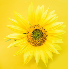 a beautiful sunflower on a yellow background