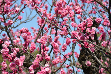 Beautiful plum blossoms in spring