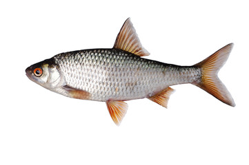 Fish roach on white. Isolated on white. Wall mural
